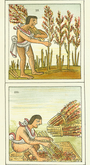 Image of Aztec Farmer Harvesting Crops